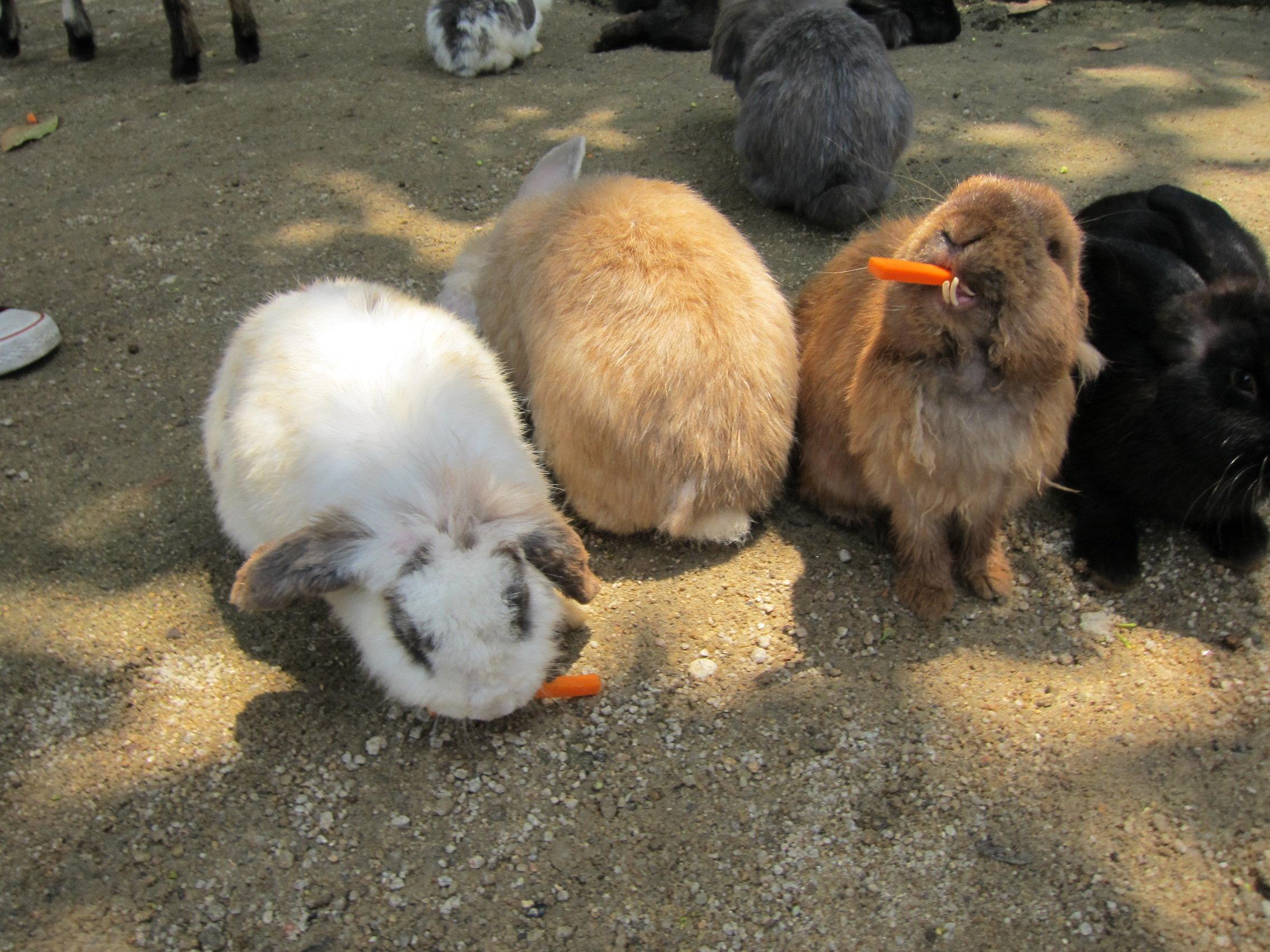小白兔吃萝卜 兔子吃萝卜 小白兔白又白图片