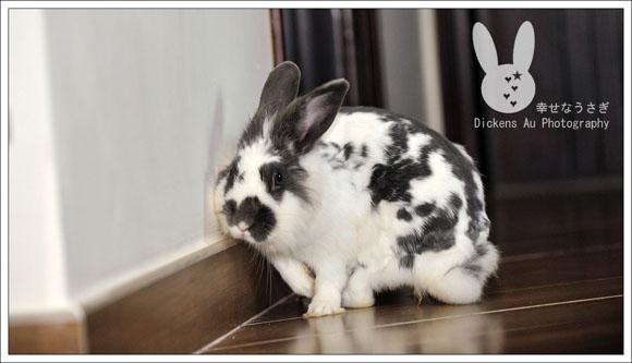 幸福小白兔 - 幸せなうさぎ