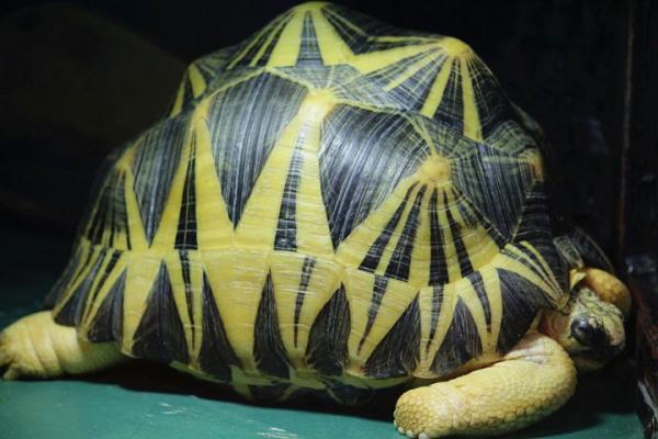 以为有三个六臂,原来是三尖八角的星龟