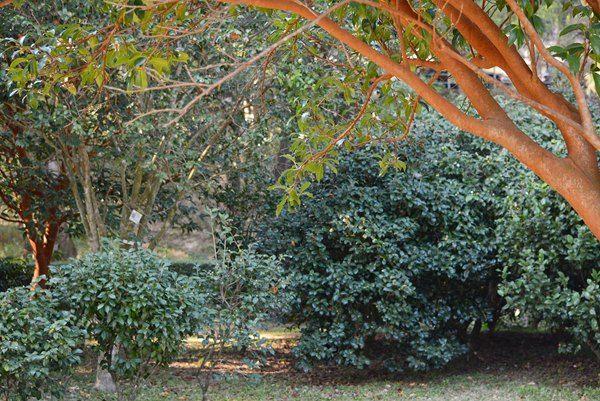 中文大學茶花園