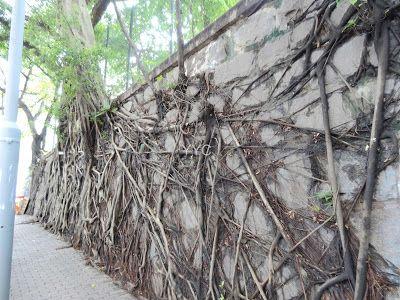 科士街石牆樹
